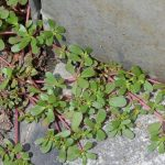 Purslane - Weed