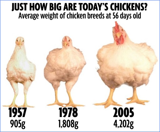 Chicken-Size-Changes-1957-1978-2005